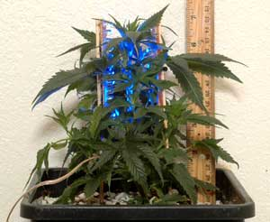 Young Jack Herer Marijuana plant being subjected to selective light training